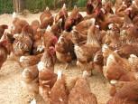 avairia 153x115 - H7N9: un nuovo virus influenzale aviario minaccia l'uomo?