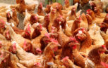 shutterstock 728659585 153x97 - H7N9: un nuovo virus influenzale aviario minaccia l'uomo?