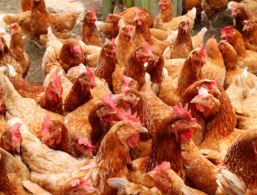 shutterstock 728659585 370x280 - H7N9: un nuovo virus influenzale aviario minaccia l'uomo?