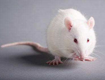 """topo laboratorio Haemosafety 1 1 370x280 - Primo isolamento di proteina prionica associata all'encefalopatia spongiforme trasmissibile o PrPTSE  in vescicole extracellulari dal plasma murino contaminato da Creutzfeldt-Jakob variante """"mouse adapted"""" con metodica di amplificazione in vitro."""