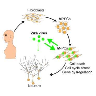 zika neuroni