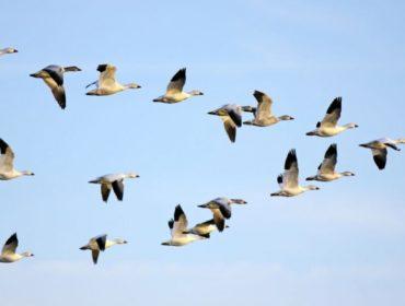 Uccelli migratori 370x280 - Dengue, Virus West Nile, chikungunya, Zika ed ora Mayaro?