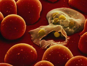 plasmodium falciparum 370x280 - Malaria. Trasfusione di sangue infetto all'Ospedale Cardarelli di Napoli