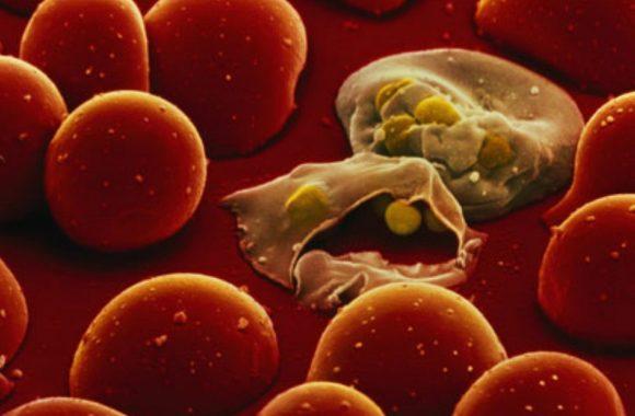 plasmodium falciparum 580x380 - Malaria. Trasfusione di sangue infetto all'Ospedale Cardarelli di Napoli