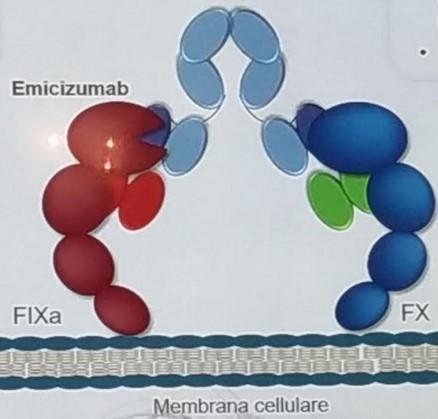 membrana - L'EMA approva l'emicizumab per la profilassi in emofilia A con inibitore
