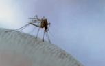 zanzara 1 153x97 - Keystone virus: documentato il primo isolamento nell'uomo. un altro Arbovirus endemico?